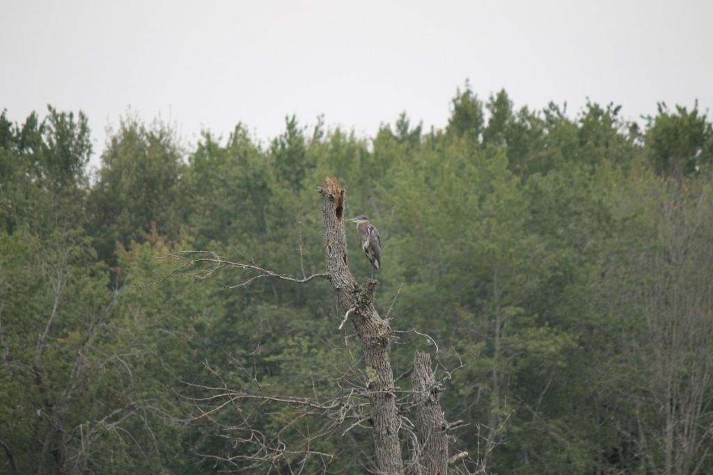 Crane, Jemseg, New Brunswick